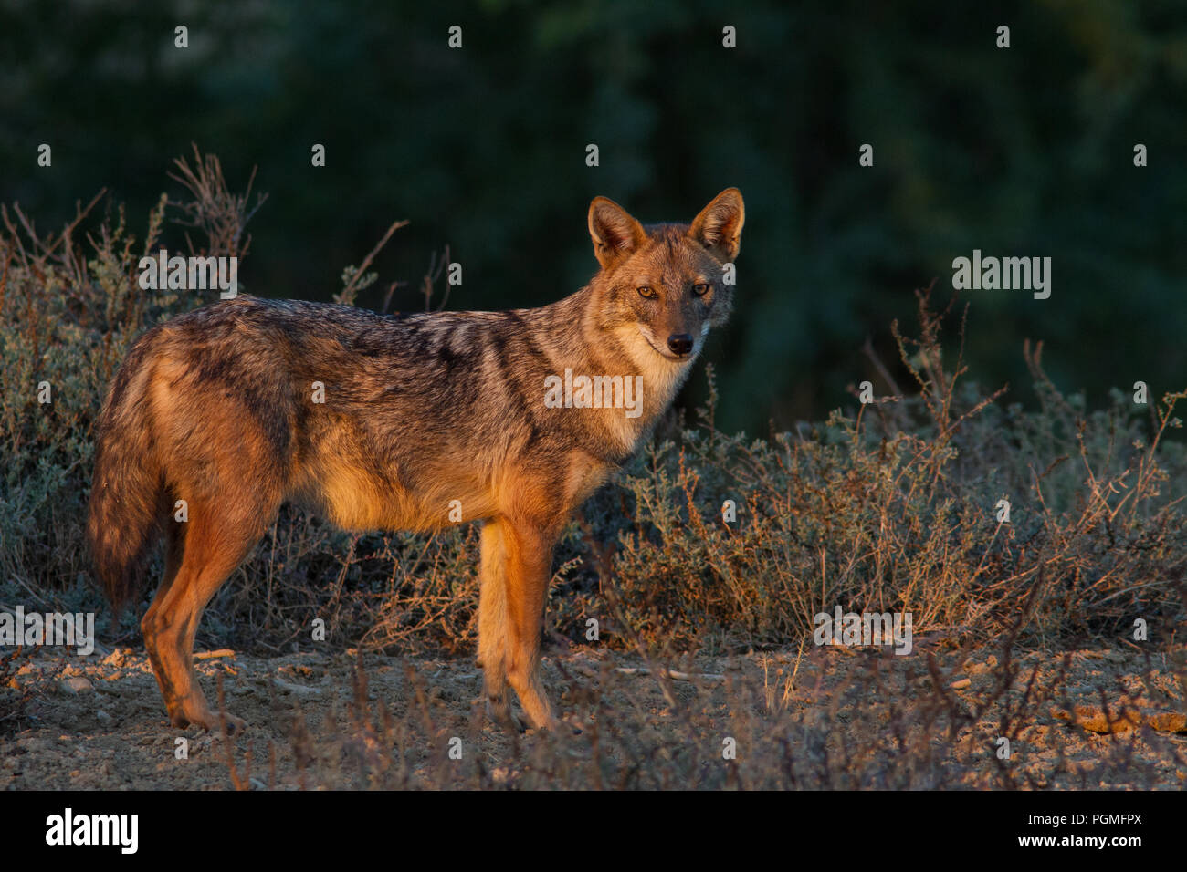 A Golden Jackal (Canis aureus) portrait in golden light from Greater Rann of Kutch, Gujarat, India - Stock Image