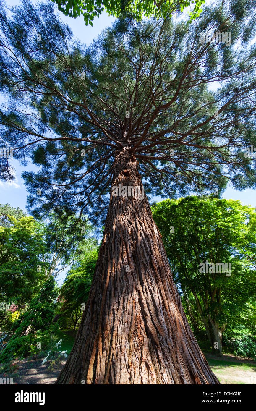 A fisheye view of a giant sequoia growing in Bodnant Gardens, North Wales Stock Photo