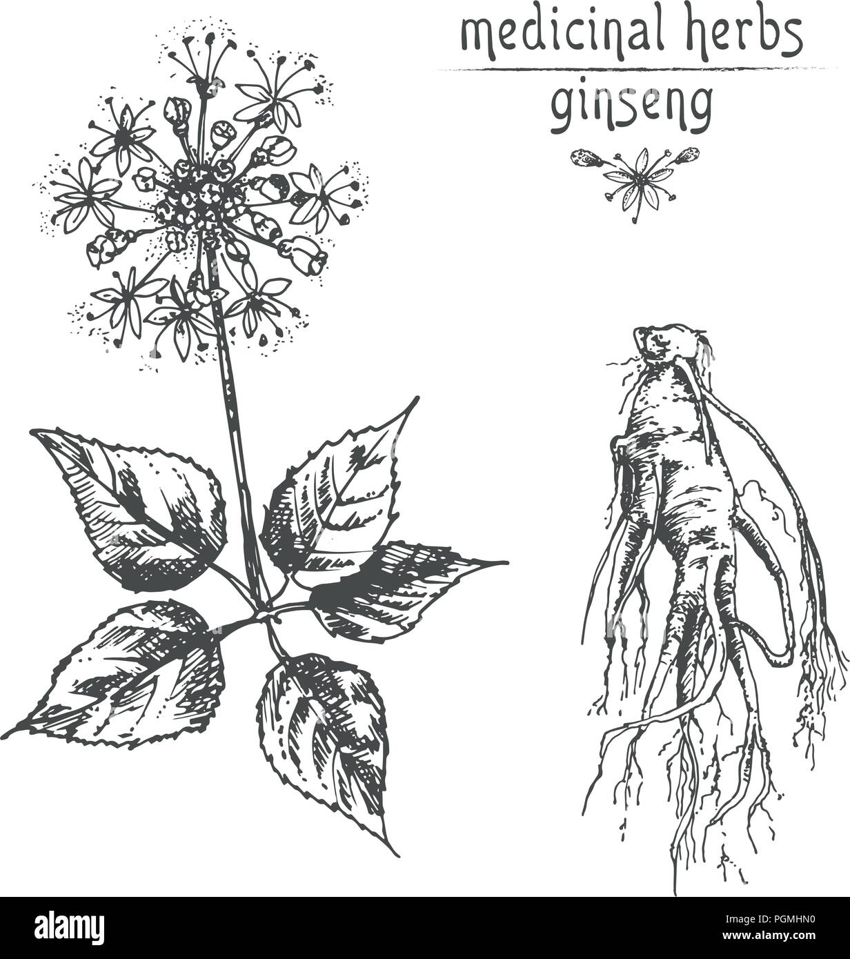 Realistic botanical ink sketch of ginseng root flowers and berries realistic botanical ink sketch of ginseng root flowers and berries isolated on white floral herbs collection traditional chinese medicine plant mightylinksfo