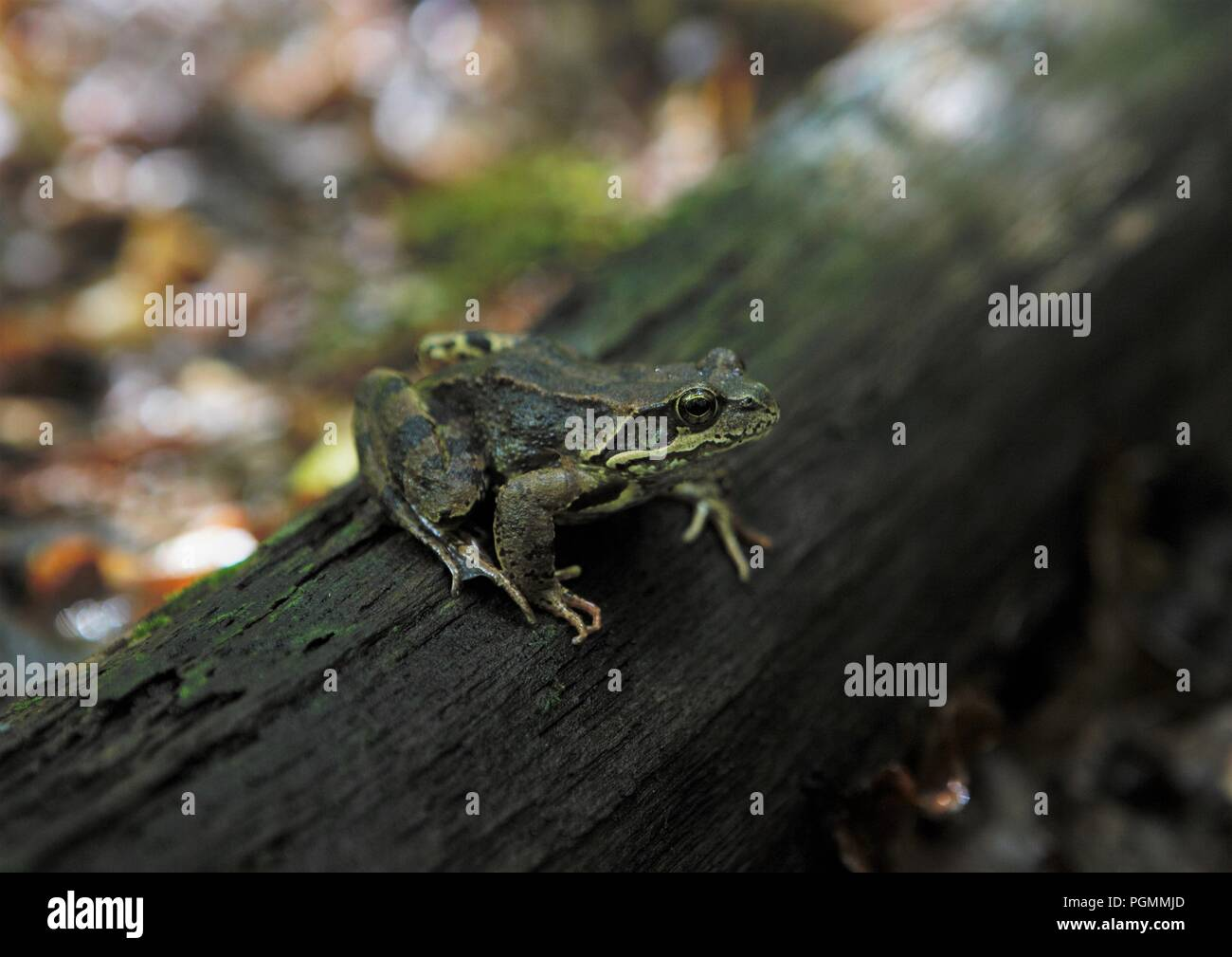 A frog on a trunk of tree in the shadow, mimicry - Stock Image