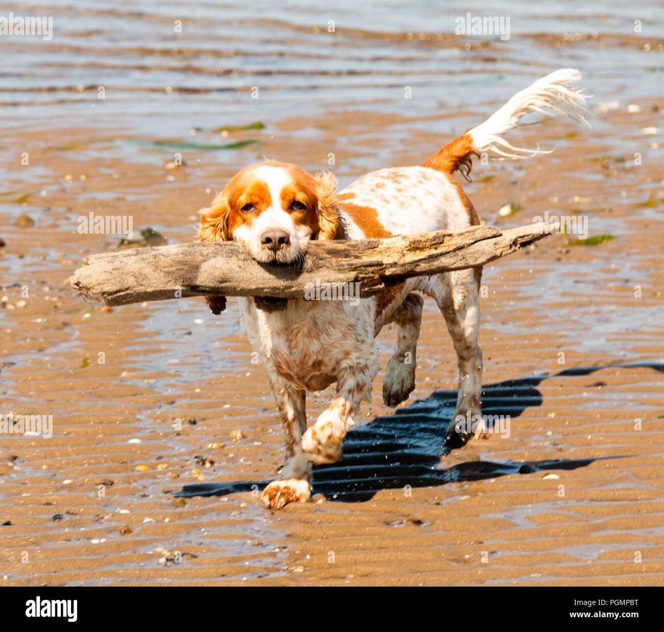Happy cocker spaniel dog playing on beach , Ayr, a popular seaside resort in South Ayrshire, Scotland, UK - Stock Image