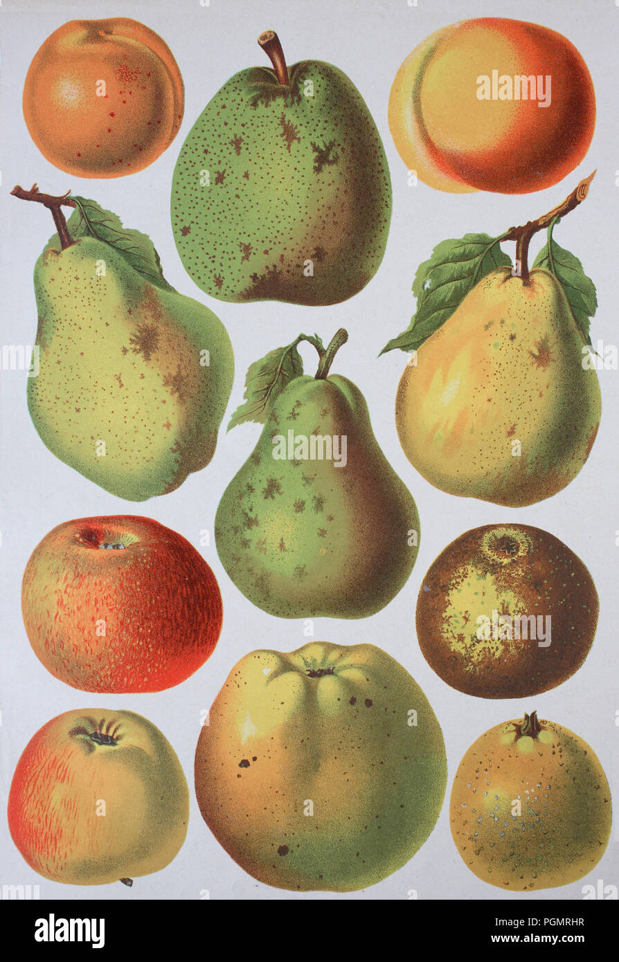 fruit growing, various apples and pears, apple varieties, digital improved reproduction of a woodcut from the year 1880 - Stock Image