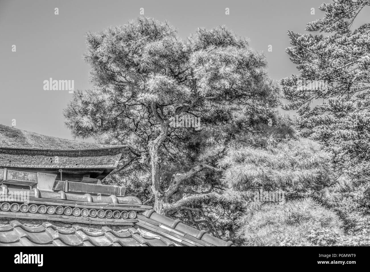 Pine Tree At The Sento Imperial Palace At Kyoto Japan 2015 In Black And White - Stock Image