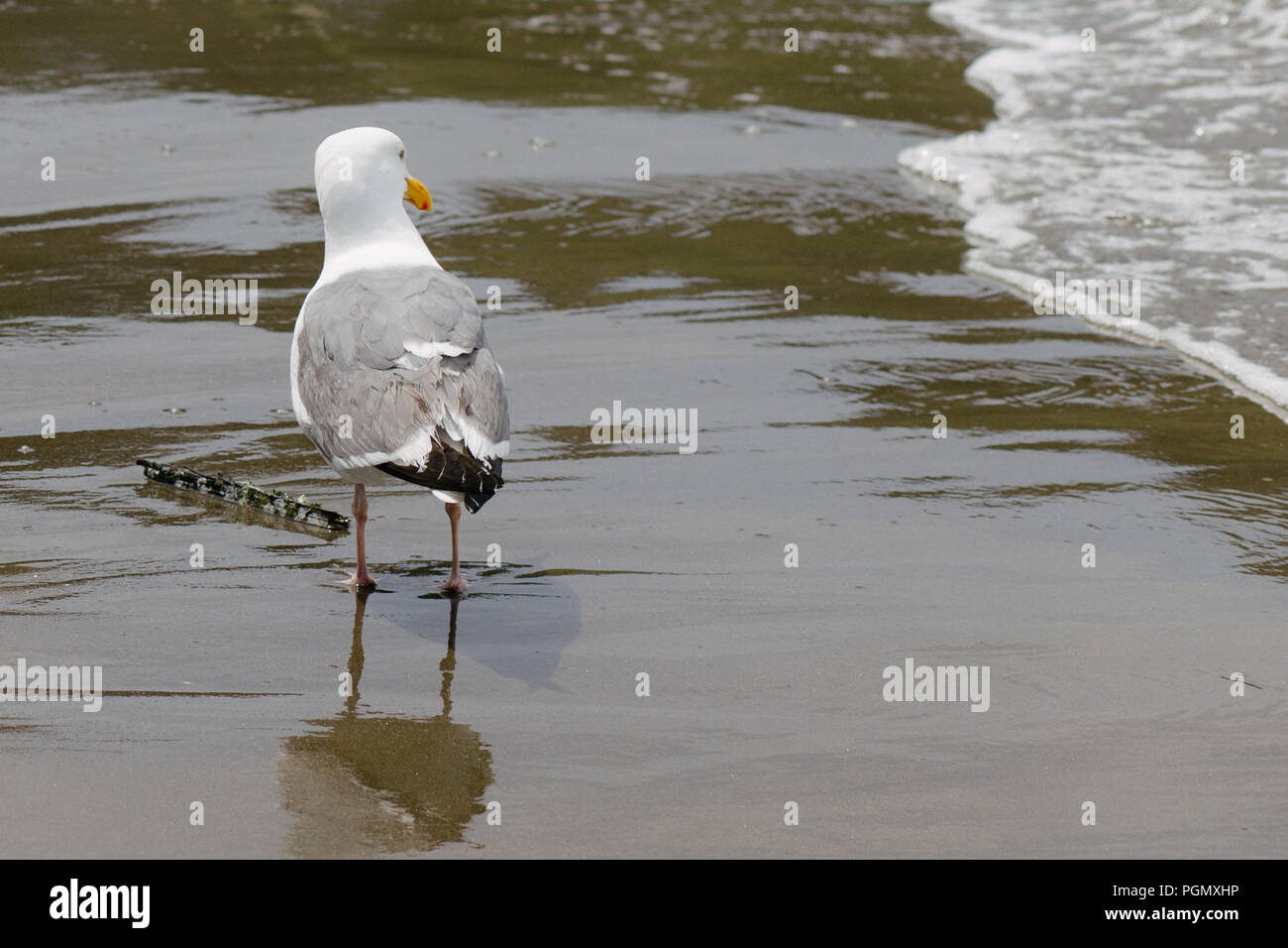 Seagull Looking at Waves on a Sandy Beach, in San Francisco, California, U.S.A. - Stock Image