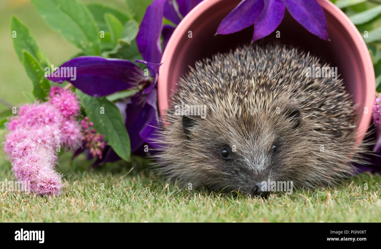 Hedgehog, wild, native, European hedgehog in pink plant pot surrounded by colourful flowers.  Scientific name: Erinaceus europaeus. Horizontal - Stock Image