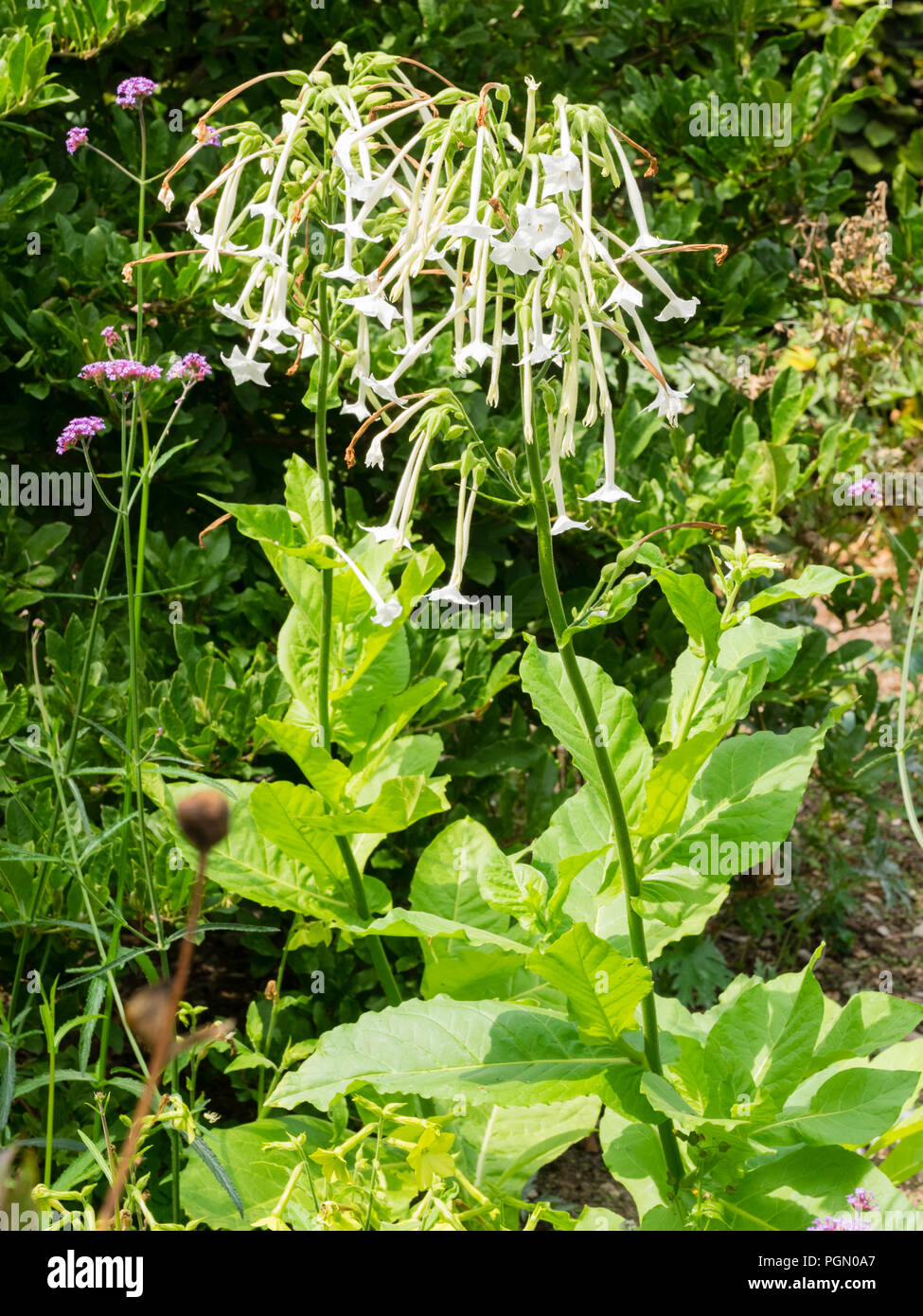 Scented, tubular white flowers of the tender biennial tobacco plant, Nicotiana sylvestris - Stock Image
