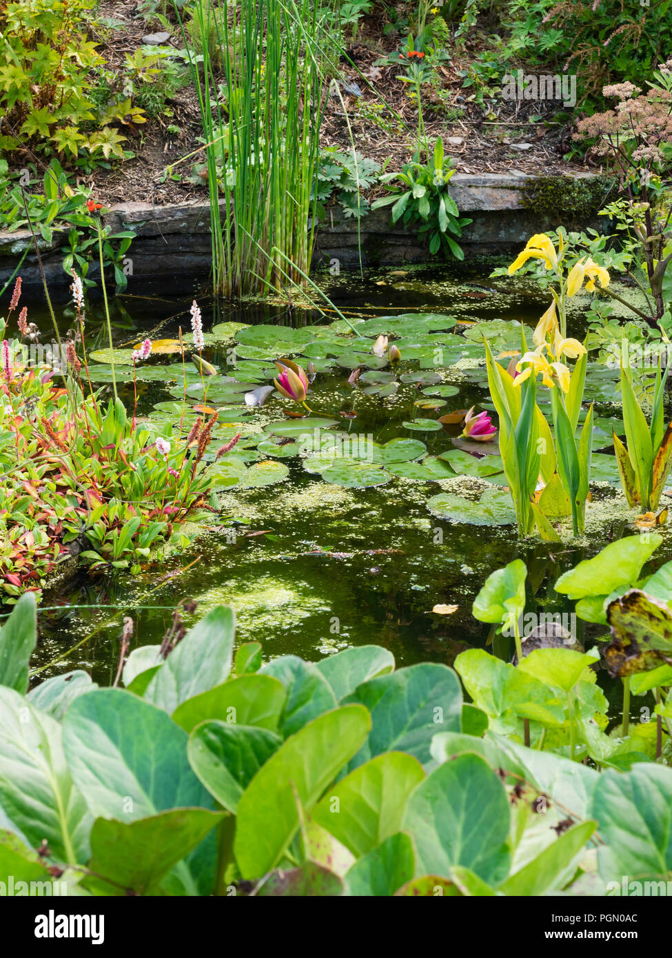 Small pond with rocky edges at The Garden House, Buckland Monachorum.  Yellow Canna 'Ra' provides long flowering interest. - Stock Image