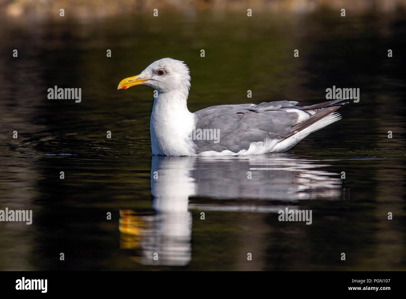 Glaucous-winged gull (Larus glaucescens) - Esquimalt Lagoon, Victoria, Vancouver Island, British Columbia, Canada - Stock Image
