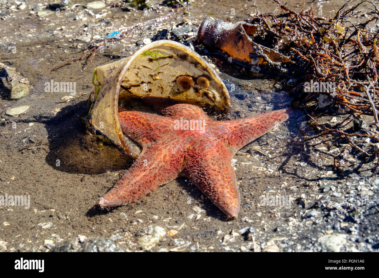 Sea Star caught in plastic cup with trash on beach - Brentwood Bay, Saanich Peninsula, Vancouver Island, British Columbia, Canada - Stock Image