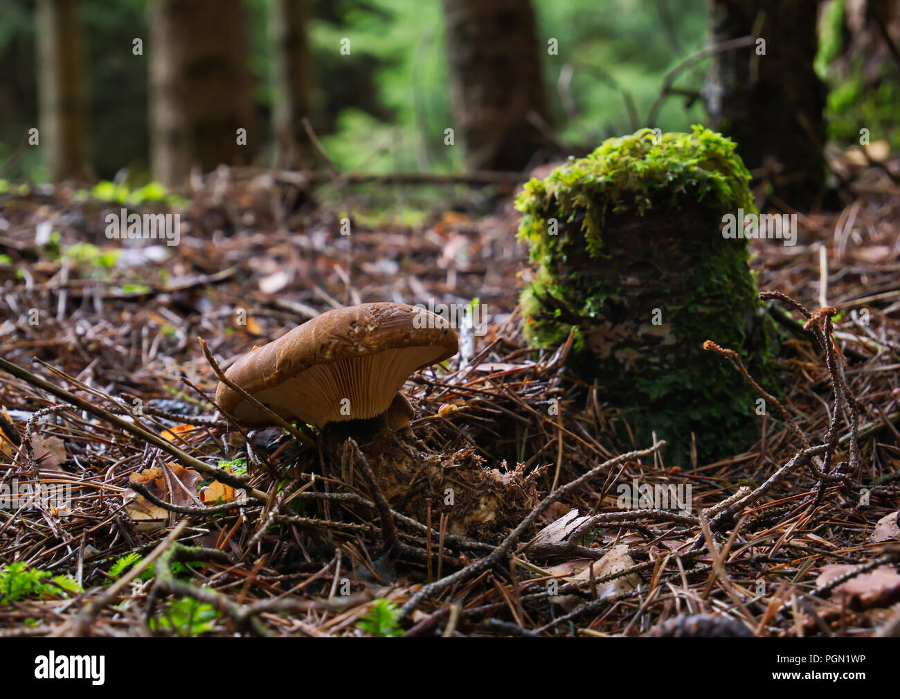A brown mushroom stands in the woods beside an old mossy tree stump against blurred background - Stock Image