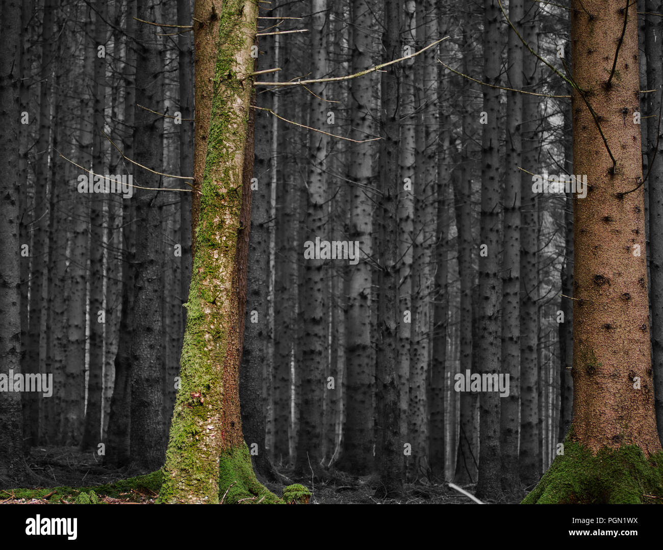 Play of colors from a forest shot with colorful trees in the foreground and black and white spruces in the background - Stock Image