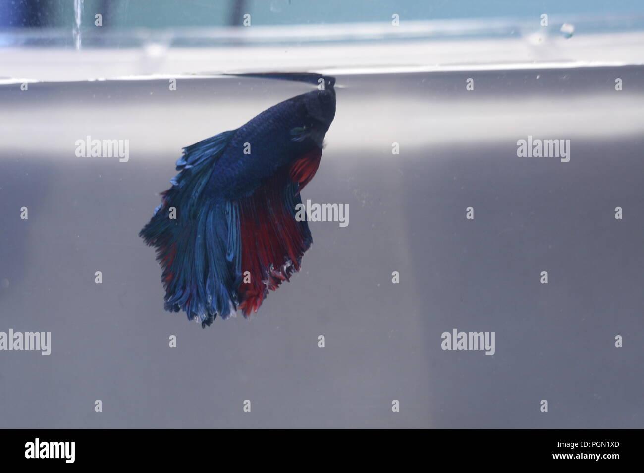 Halfmoon Betta Splendens Fish Blue Red Stock Photo