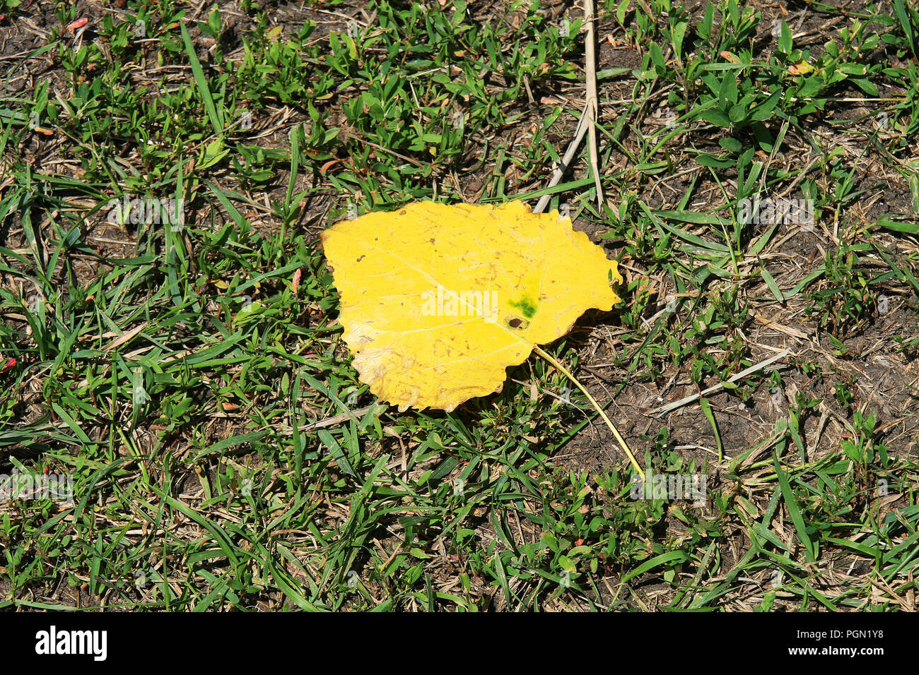 First yellow leaf of the early Autumn, fallen to the ground with green grass. Stock Photo