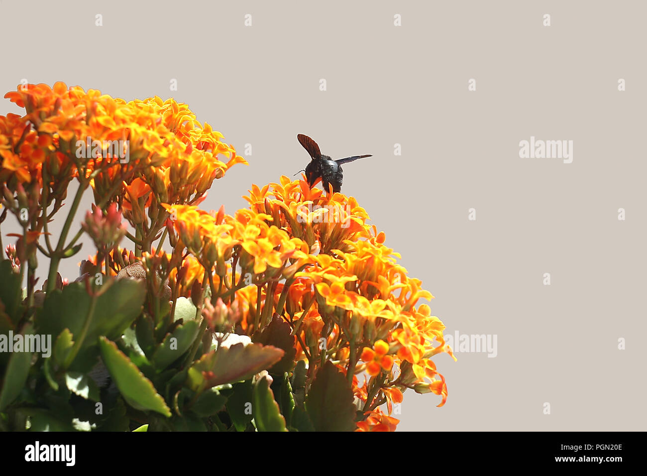 Bumble Bee on Kalanchoe Flower Orange Yellow Stock Photo