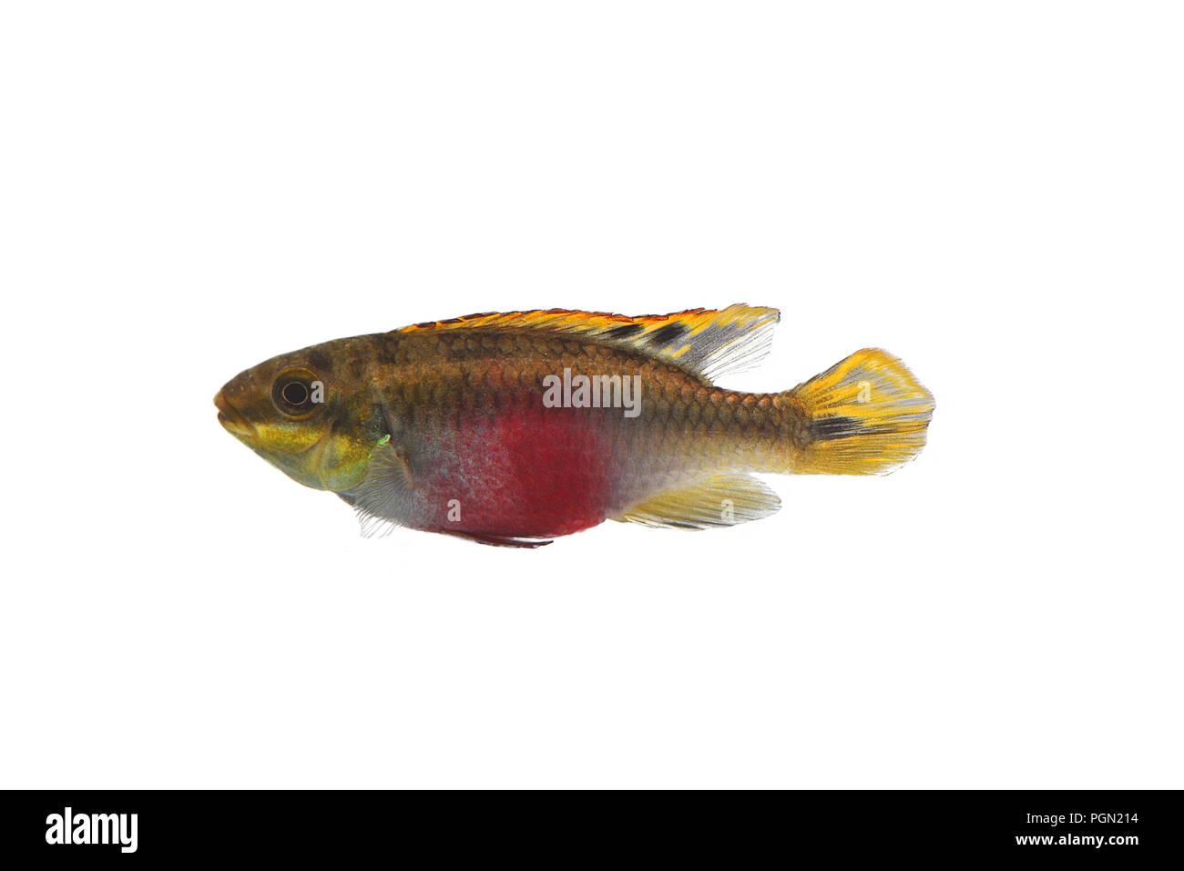 Aquarium Fish Isolated White Pelvicachromis Pulcher Kribensis Cichlid Krib Stock Photo