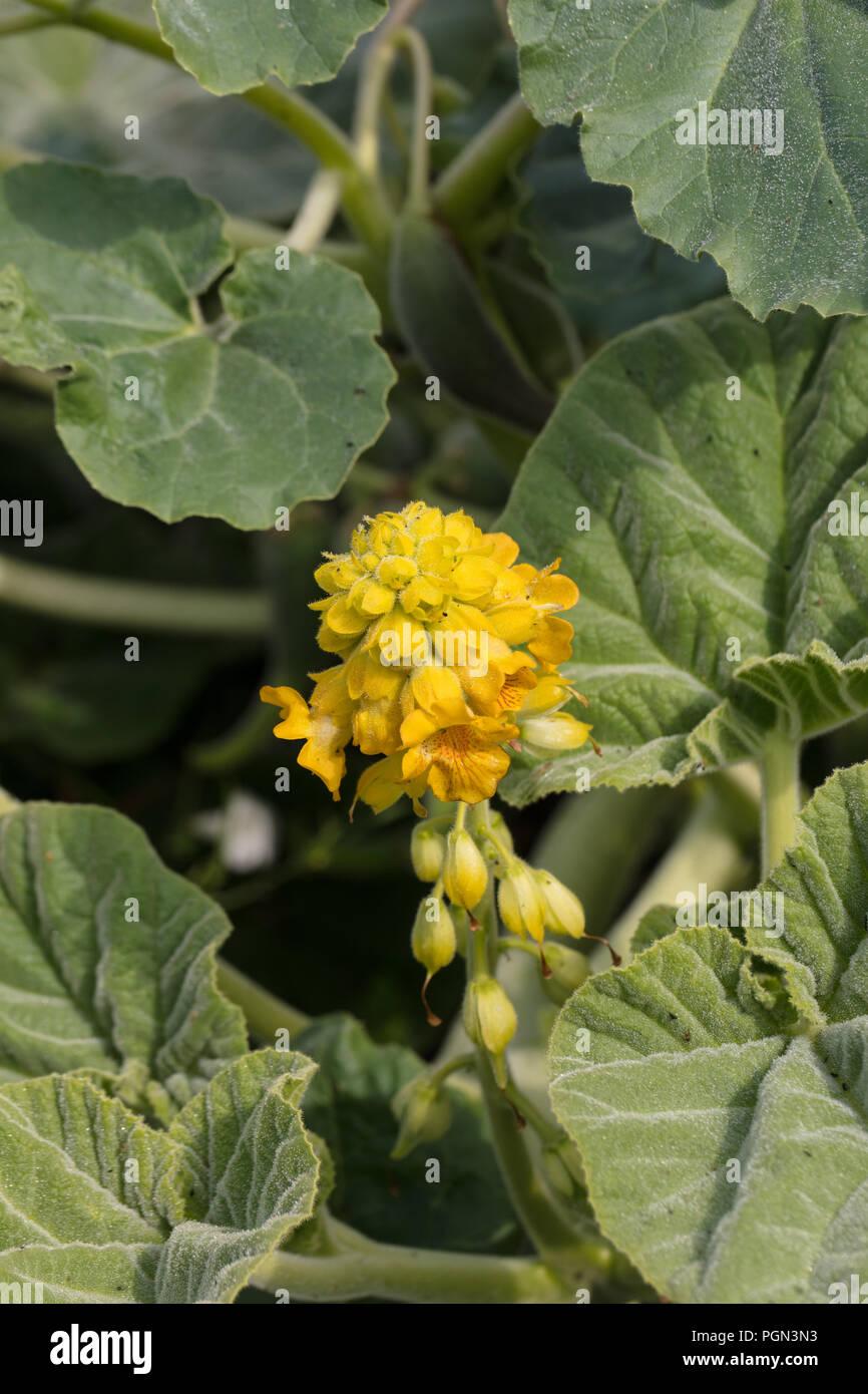 Yellow unicorn-plant, Gult bockhorn (Ibicella lutea) - Stock Image