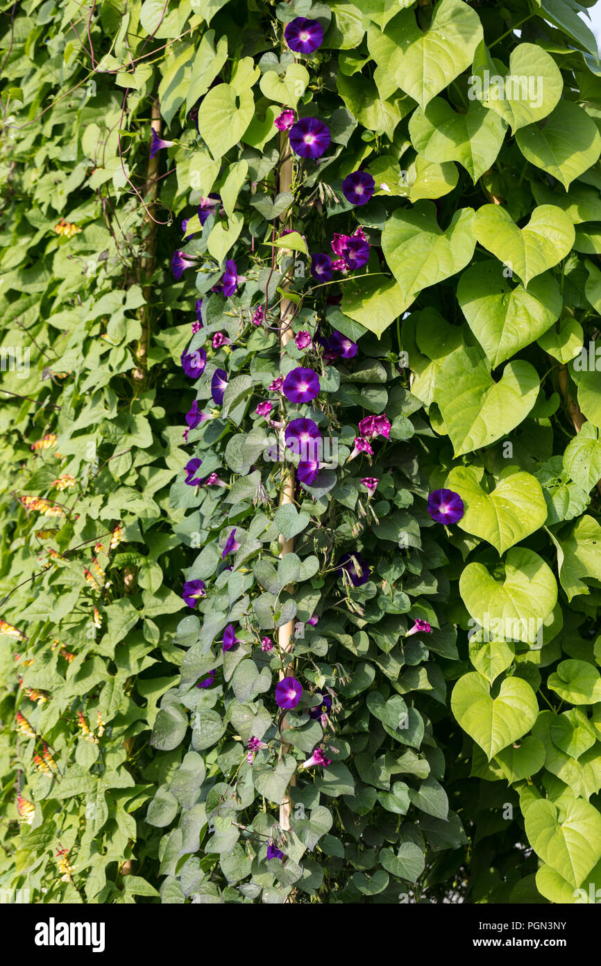 'Grandpa Ott's' Common Morning Glory, Purpurvinda (Ipomoea purpurea) - Stock Image