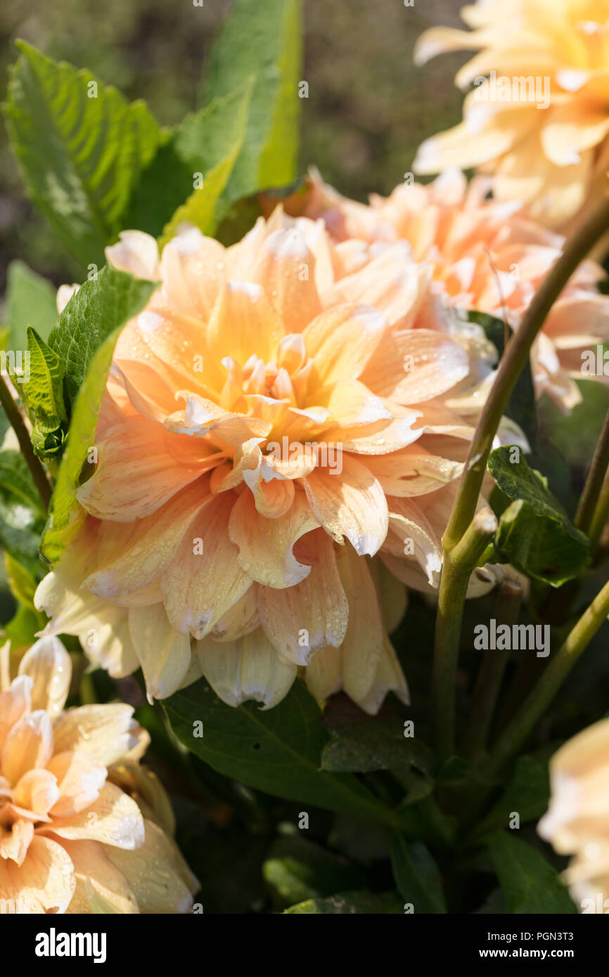 'Seattle' Formal Decorative Dahlia, Dekorativdahlia (Dahlia x Hortensis) - Stock Image