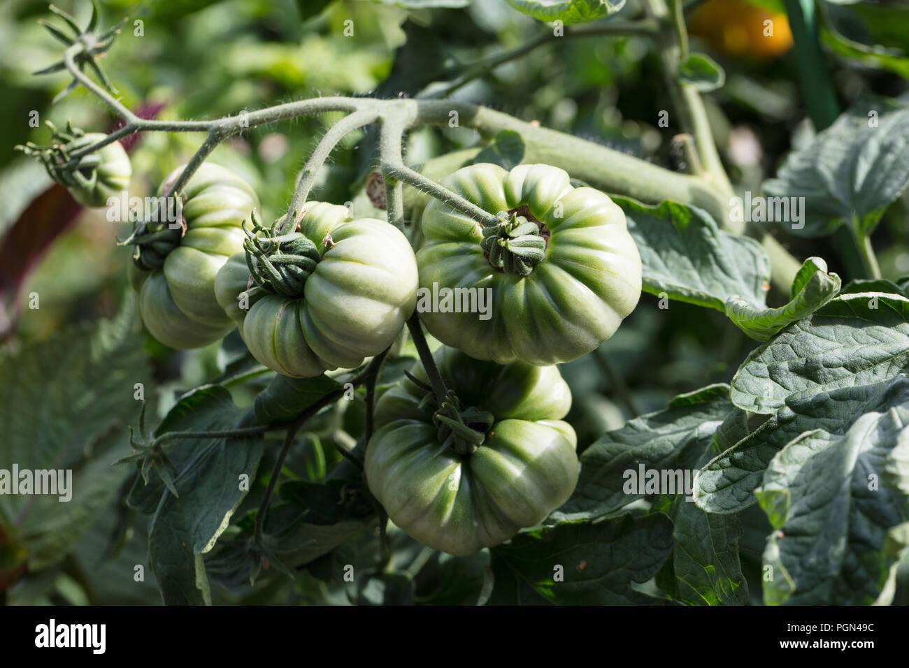 'Ananas' Beefsteak tomato, Bifftomat (Solanum lycopersicum) - Stock Image