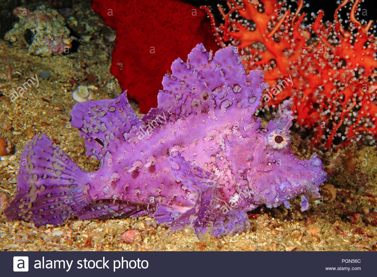 Weedy Scorpionfish or Popeyed scorpionfish (Rhinopias frondosa), poisonous, Sabang Beach, Puerto Galera, Mindoro island, Philippines - Stock Image