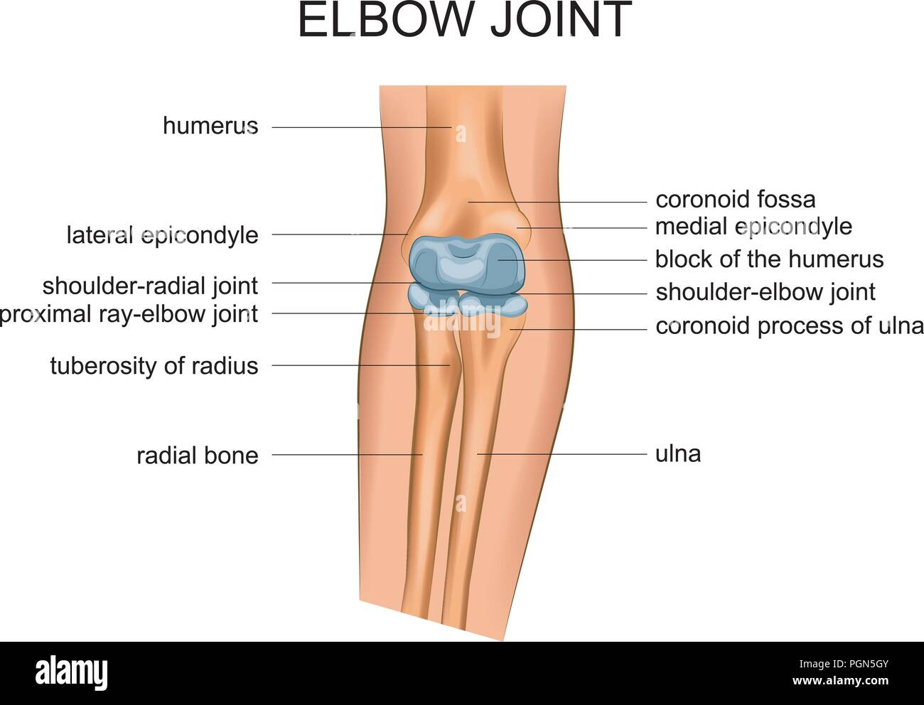 vector illustration of anatomy of the elbow joint - Stock Image