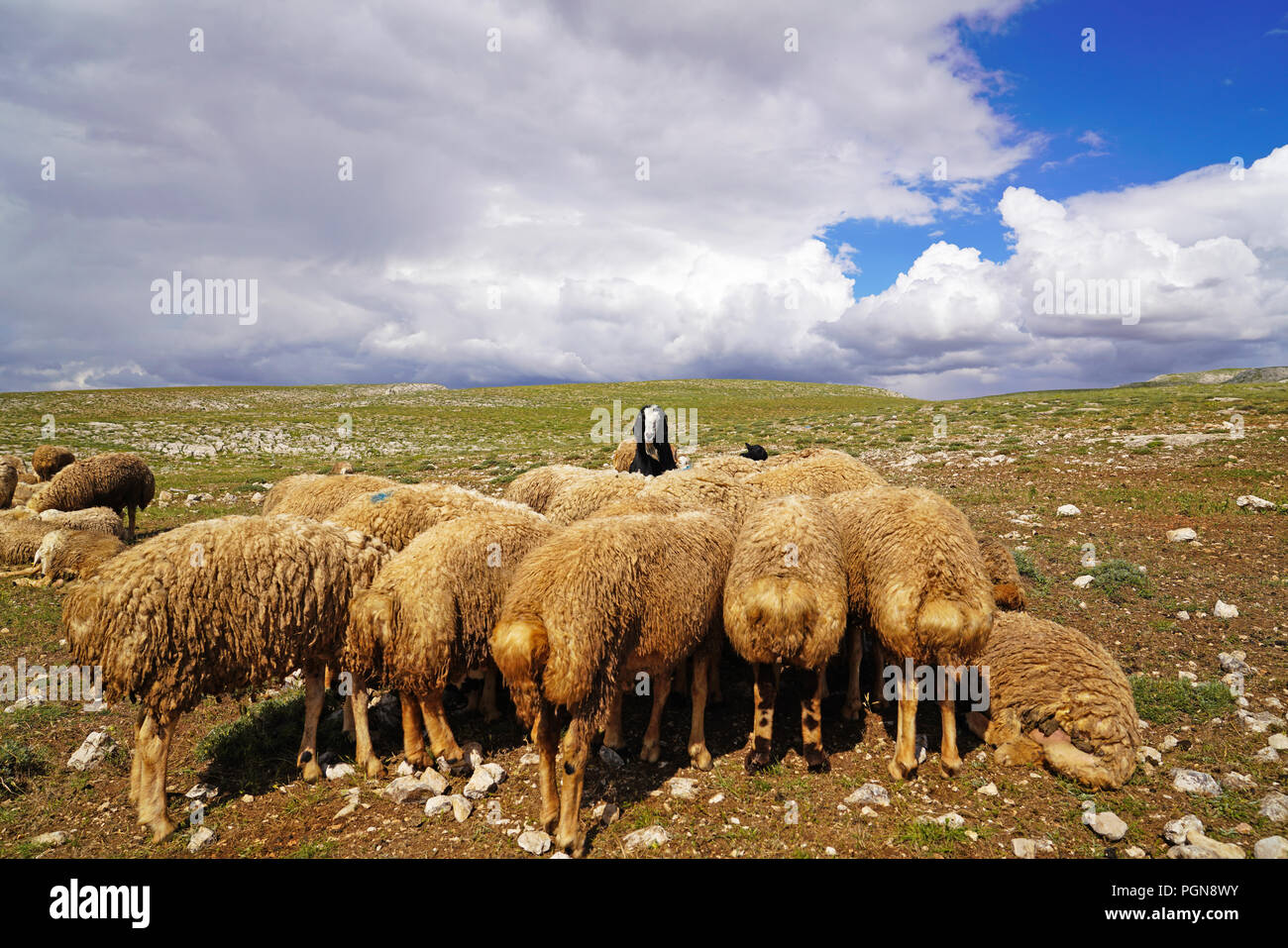Large number sheep are resting on the meadow and one black goat which is among them looking to the camera, selective focus - Stock Image