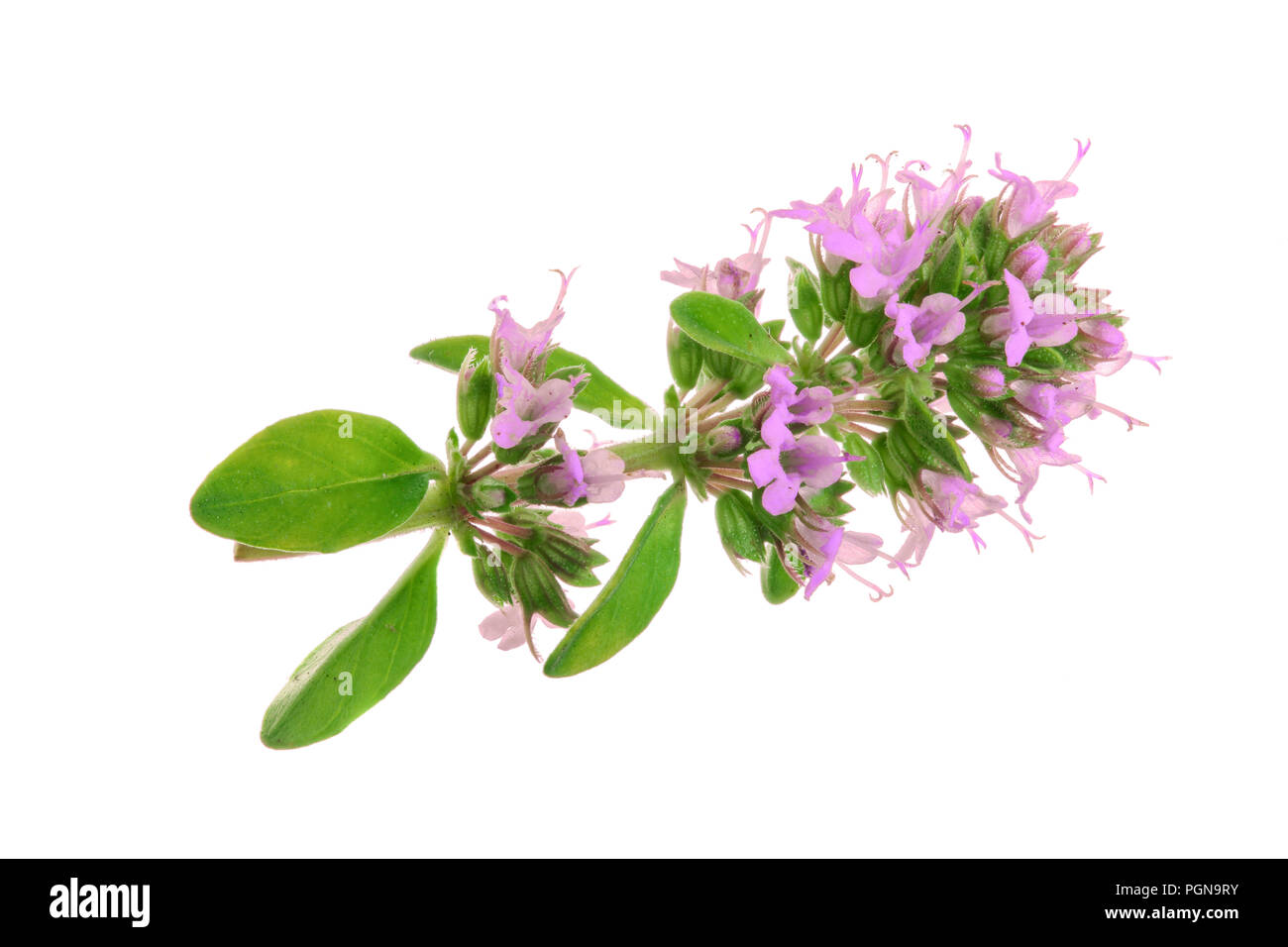 flowering twig thyme spice isolated on white background - Stock Image