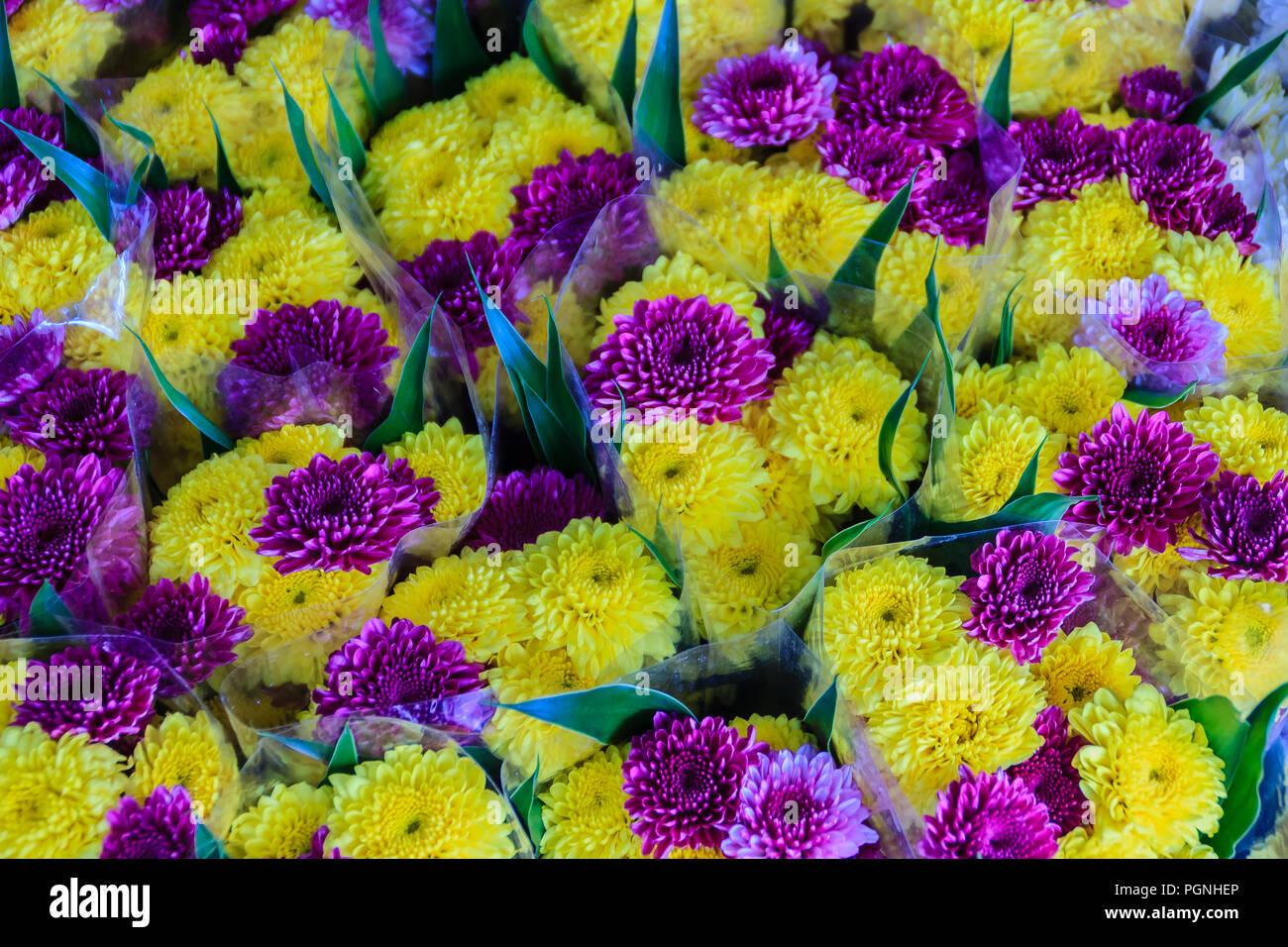 Beautiful yellow and purple chrysanthemum flowers as ...