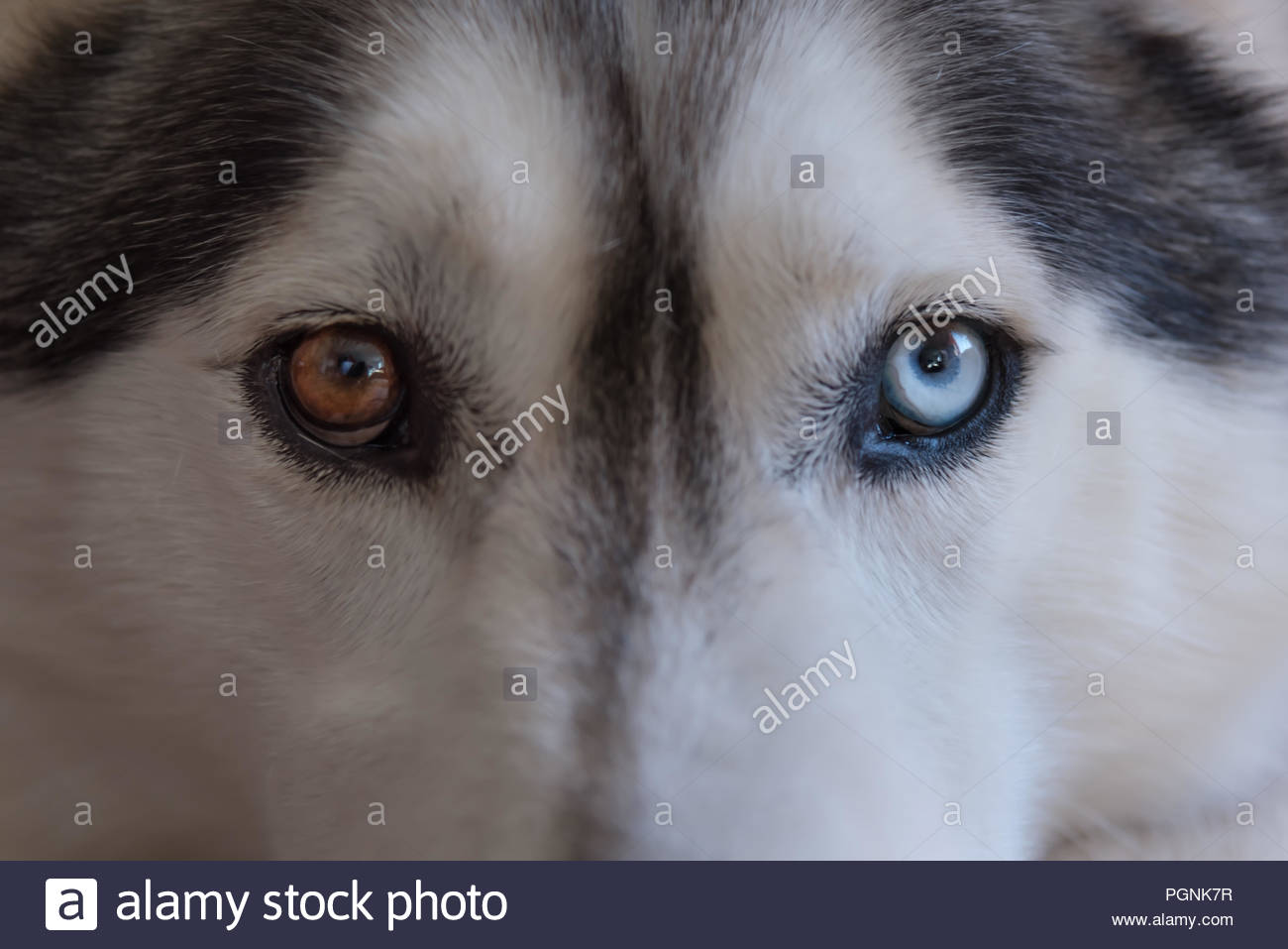 a close up view of the bi coloured or parti-coloured eyes of a grey and white husky wolf dog breed. one eye blue, and the other brown - Stock Image