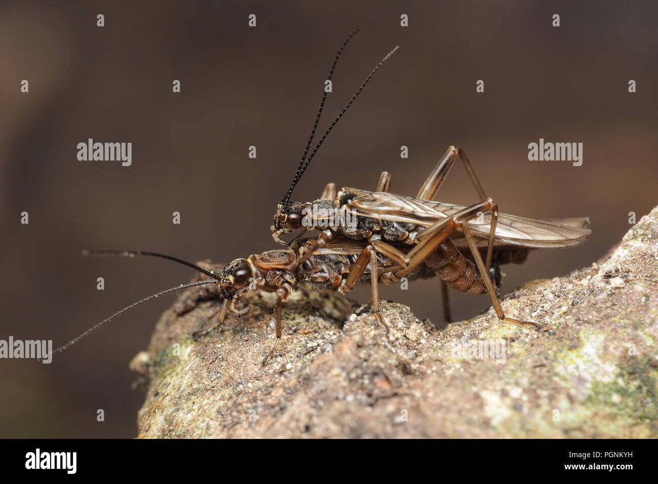 Mating Stoneflies on branch. Tipperary, Ireland - Stock Image