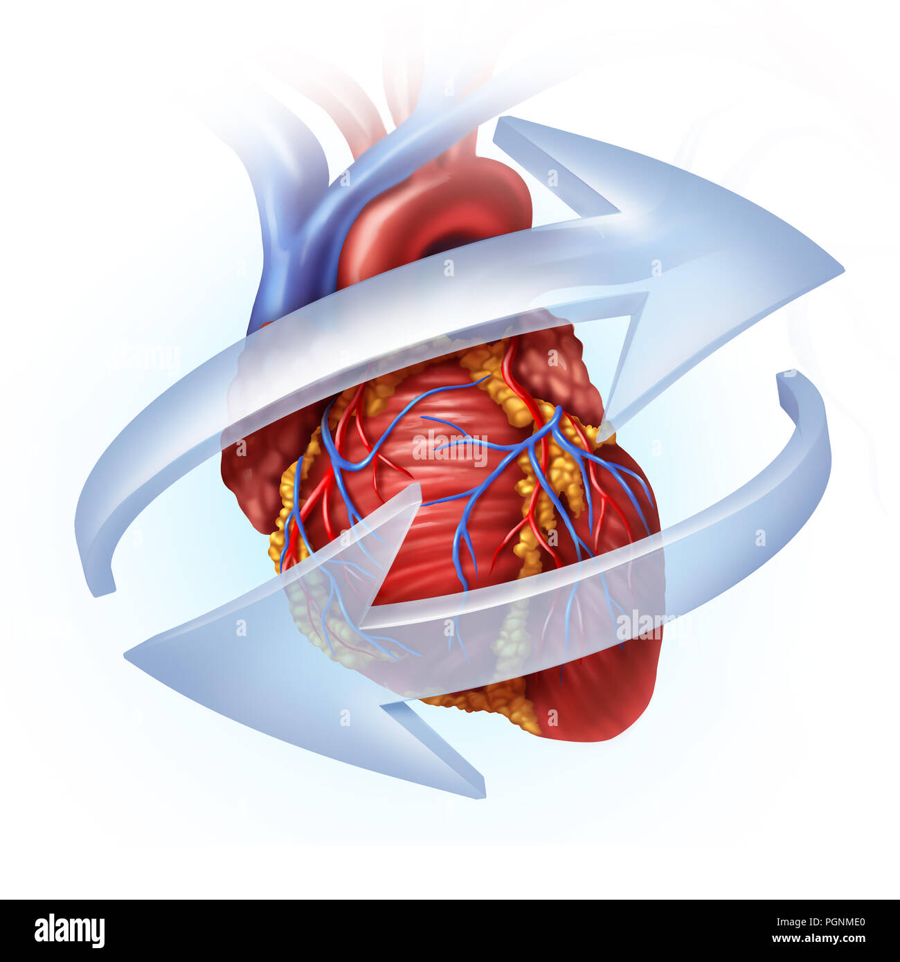 Human heart function and cardiovascular circulation concept as blood ...