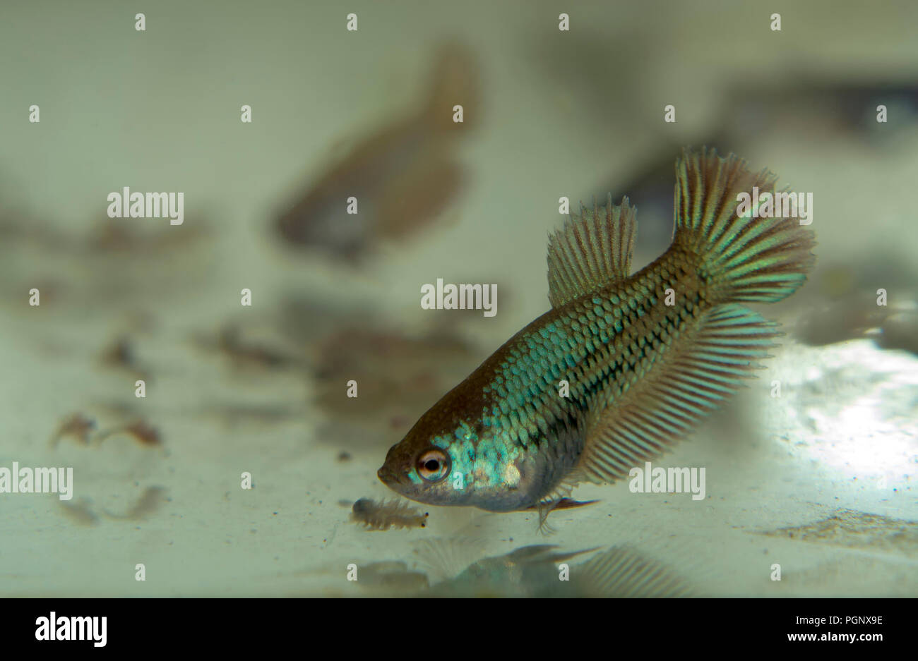 Feeding Baby Siamese Fighting Fish in the Aquarium with Frozen Baby Brine Shrimp Stock Photo