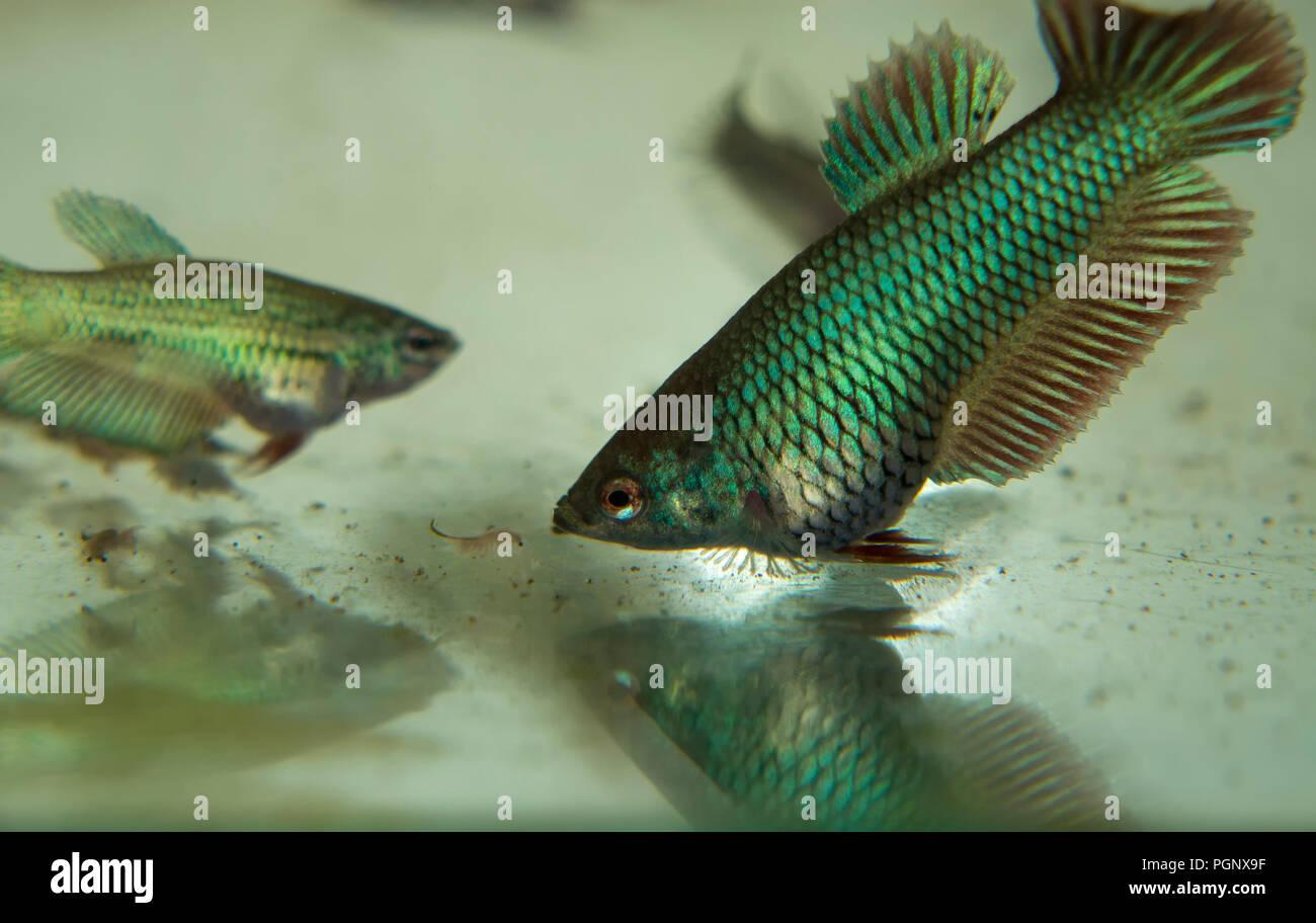 Feeding Baby Fighting Fish Betta Splendens Fishes in the Aquarium with Frozen Baby Brine Shrimp Stock Photo