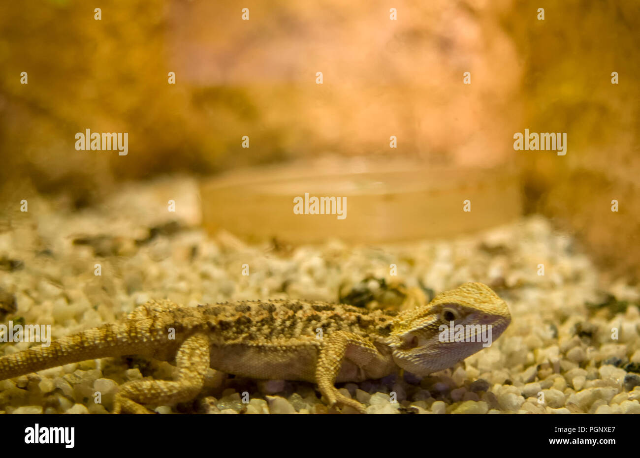 Young pogona, Bearded dragon close up, shallow dof.The name bearded dragon refers to the beard of the dragon,the underside of the throat which can tur Stock Photo