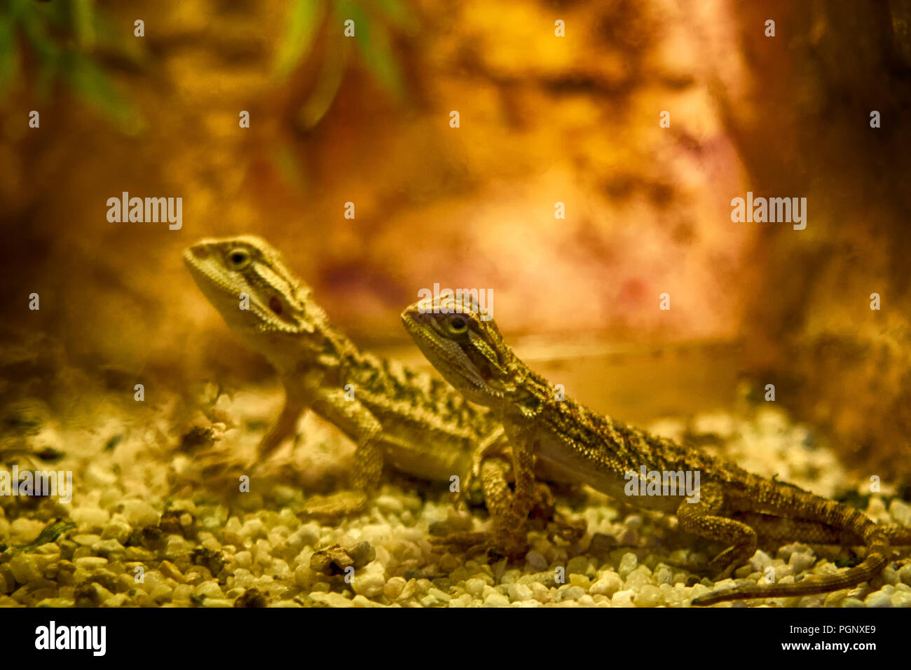 Bearded dragon close up, shallow dof. Pogona is a genus of reptiles containing nine lizard species which are often known by the common name bearded dr Stock Photo