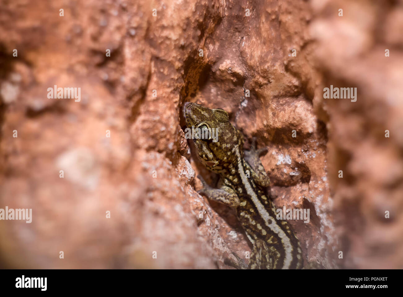 Ocelot gecko close-up, shallow dof.It is sometimes known as the Madagascar ground, pictus, Malagasy fat-tailed gecko, or panther gecko. Stock Photo