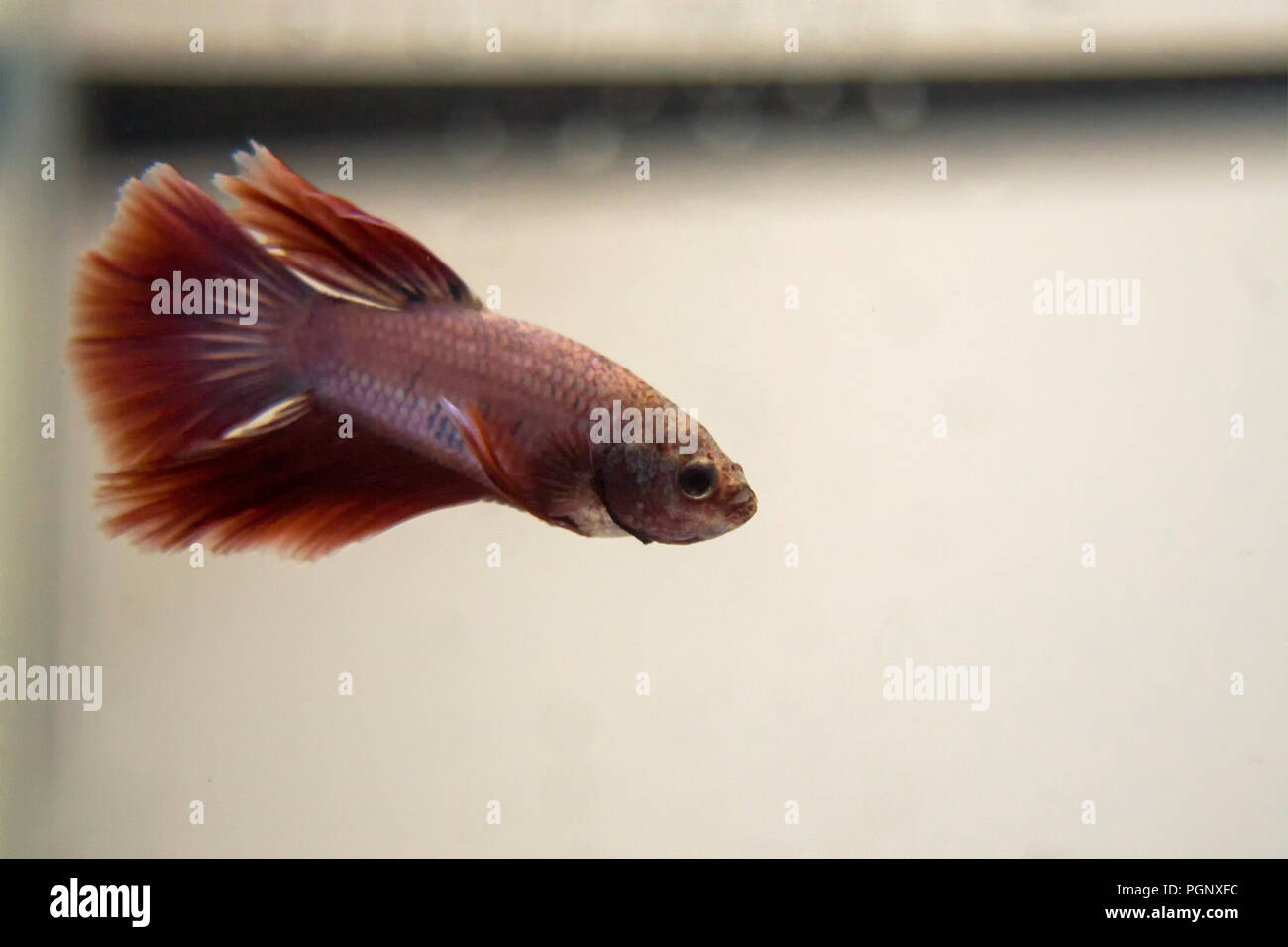 Siamese Fighting Fish Red Pink Halfmoon Betta Splendens. In the wild, betta spar for only a few minutes before one fish backs off. Stock Photo