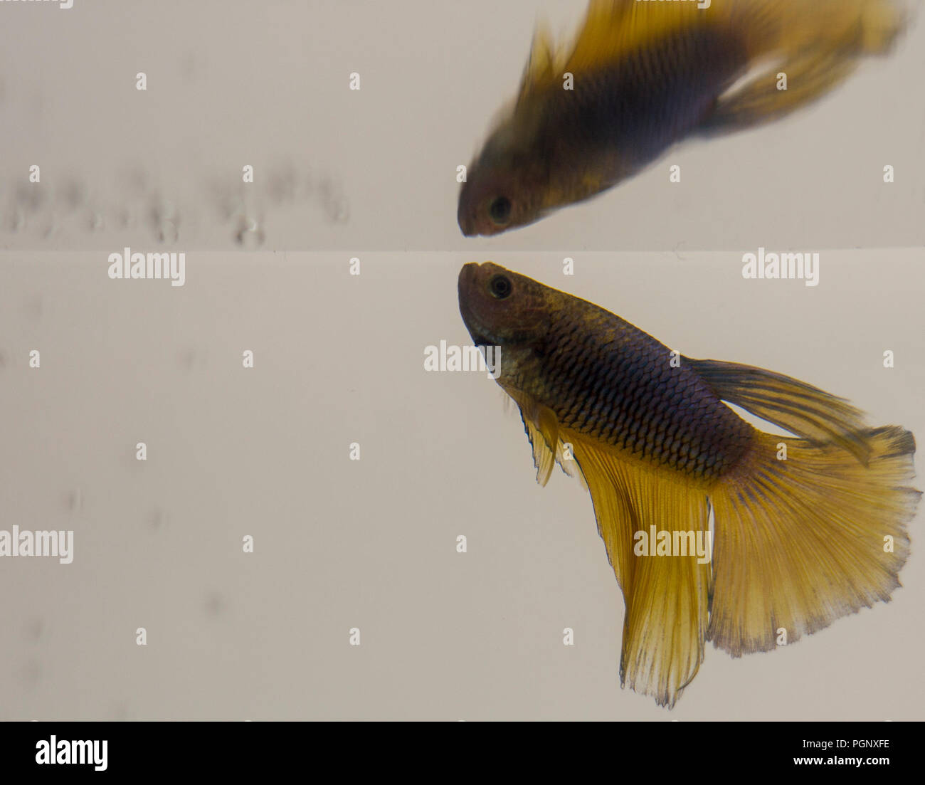 Siamese Fighting Fish Yellow Halfmoon Betta Splendens.Males build bubble nests of various sizes and thicknesses at the surface of water. Do this regul Stock Photo