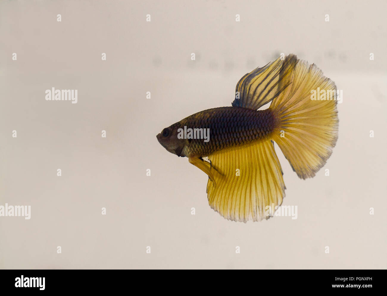 Siamese Fighting Fish Blue Yellow Halfmoon Betta Splendens with reflection. The fish is naturally endemic to Thailand and can be found in shallow area Stock Photo