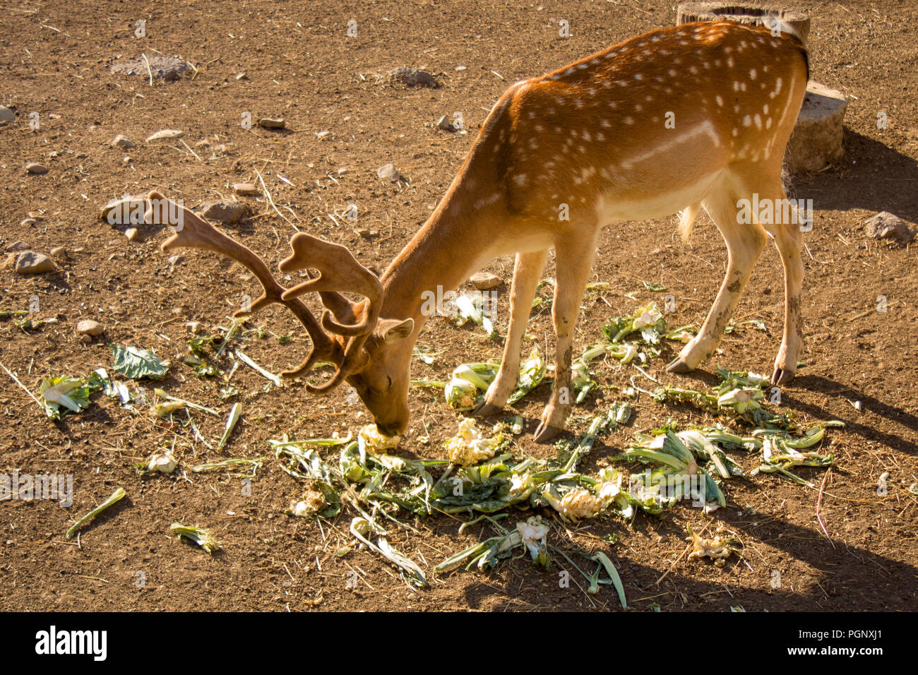 Young deer eating vegetables.Female reindeer, and male deer of all species except the Chinese water deer, grow and shed new antlers each year. Stock Photo