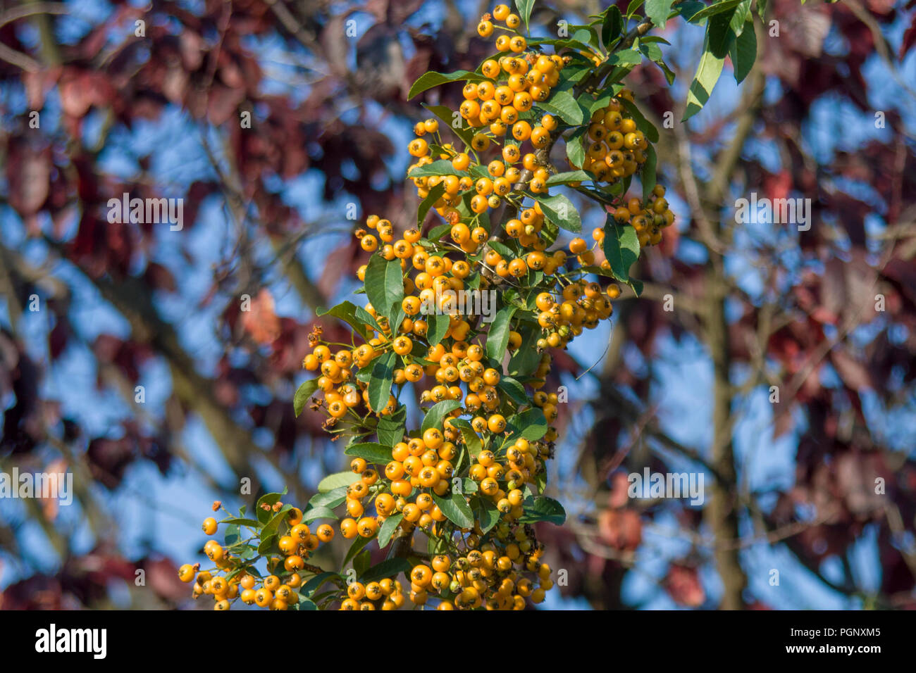 Yellow wild Rowan berries, Sorbus aucuparia with bokeh background in the forest. Stock Photo