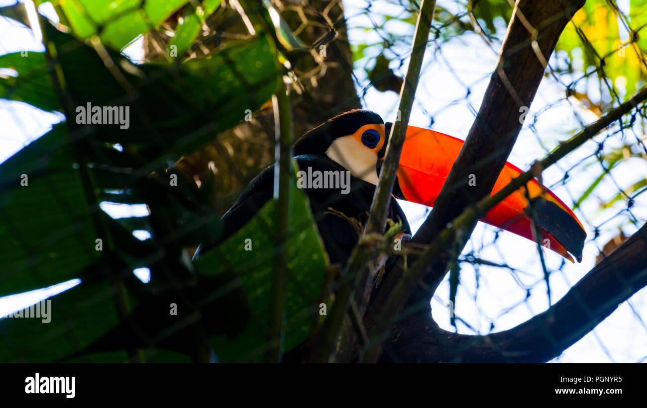 Tucano trapped on a wire grid - zoo - Stock Image
