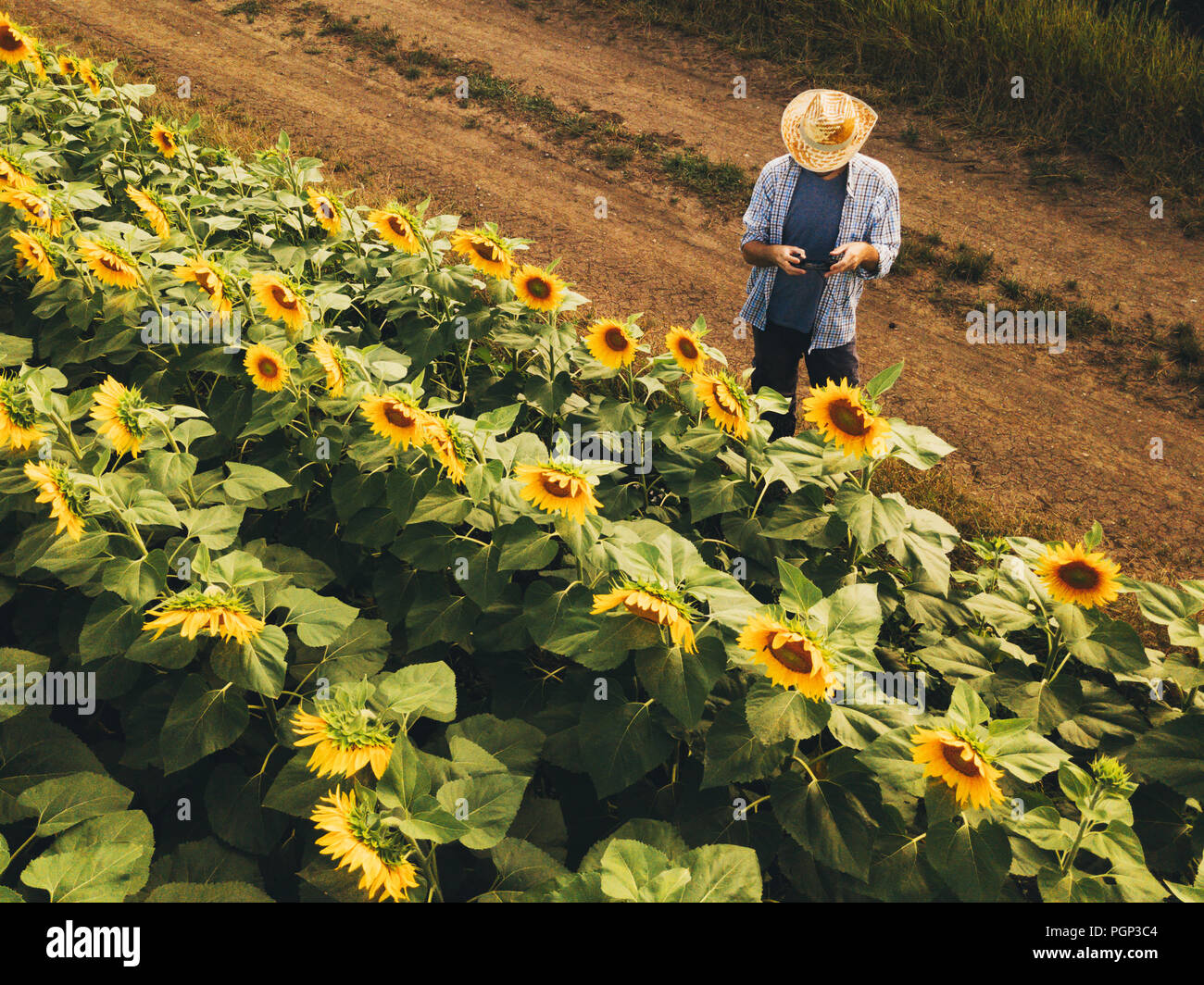 Farmer agronomist using drone to examine blooming of sunflower crops in field from above, using modern technology in agriculture and food production i - Stock Image