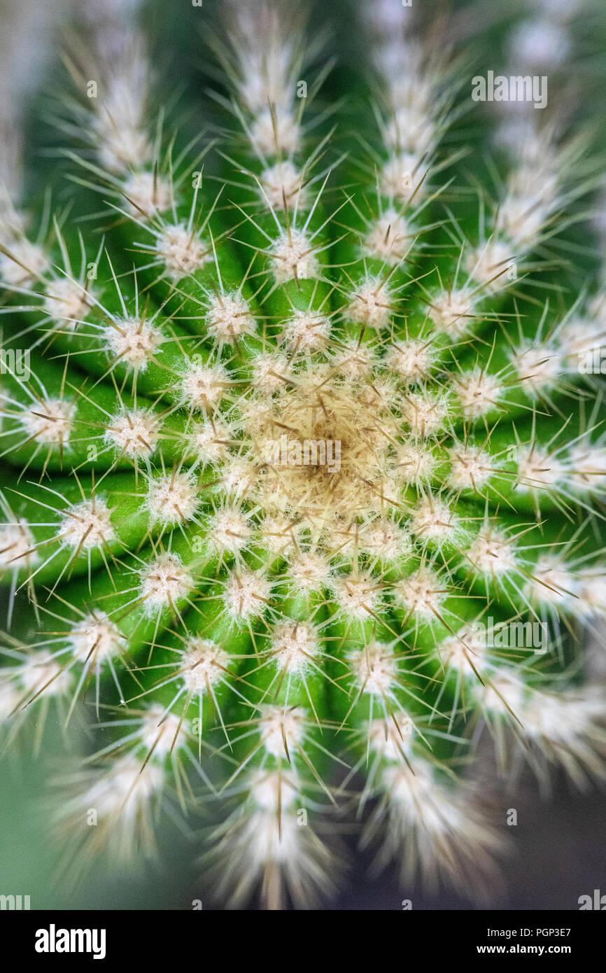 Cactus detail, top of cactus, close-up Stock Photo
