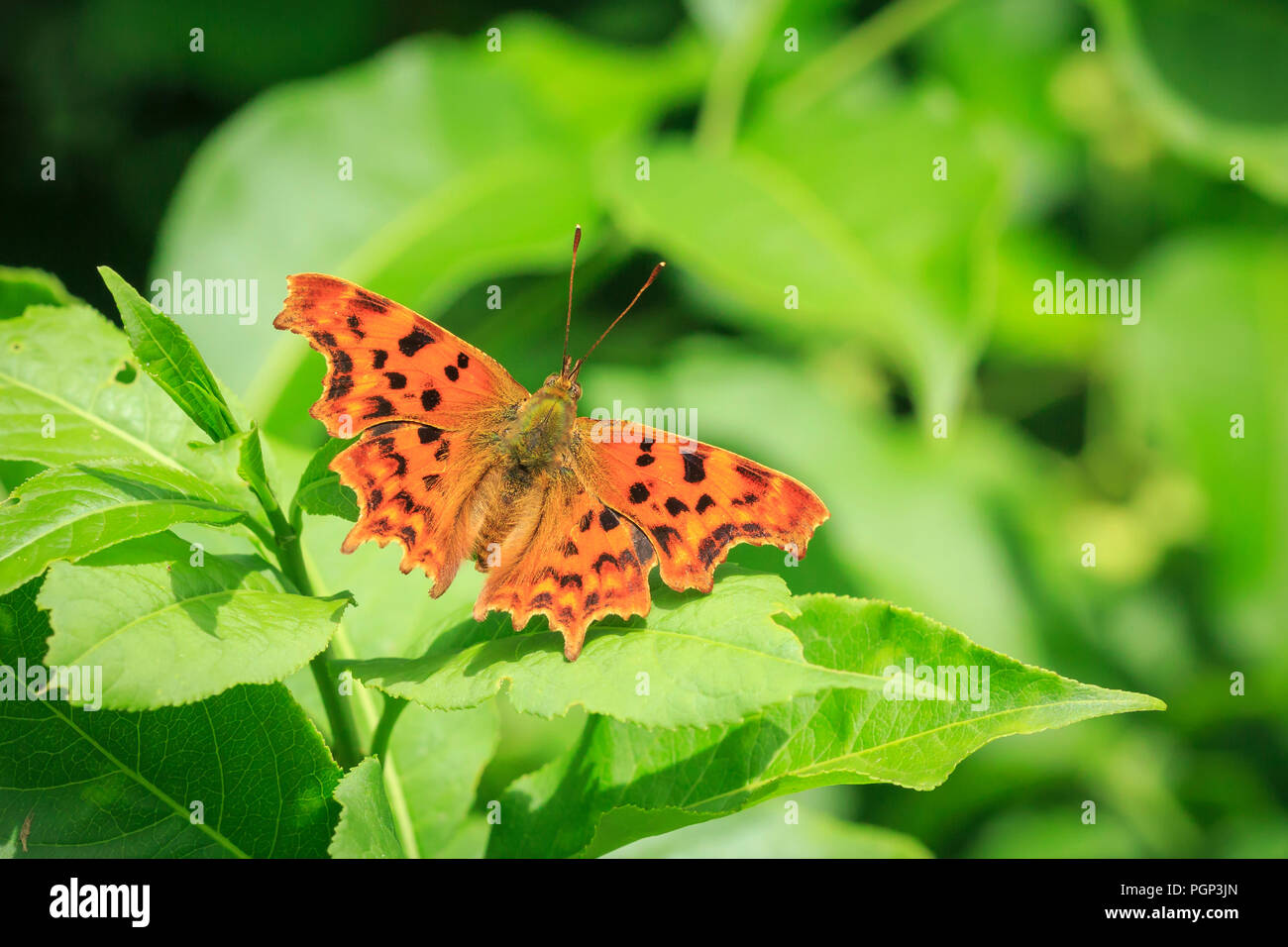 Comma butterfly (Polygonia c-album) resting on vegetation in a forest - Stock Image