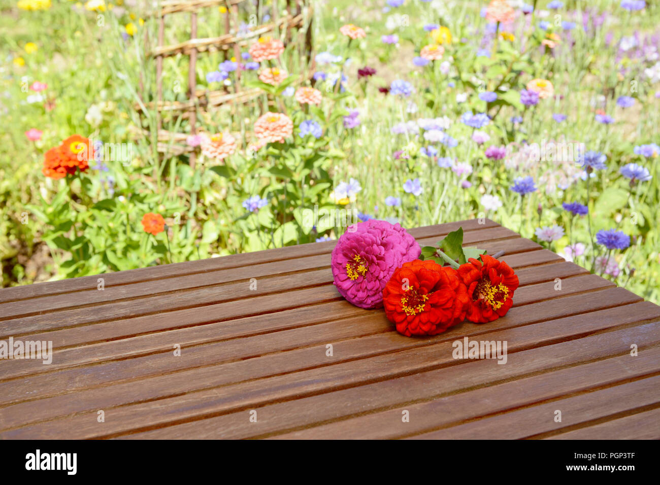 Three cut zinnia blooms with copy space on a wooden table, a colourful flower bed lies beyond - Stock Image