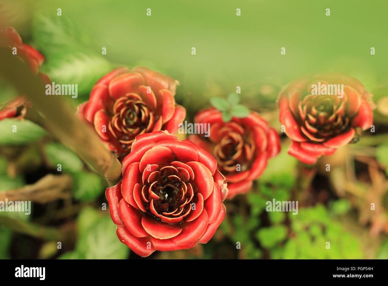 Siam Rose Torch Ginger Etlingera Corneri Stock Photo 216845905