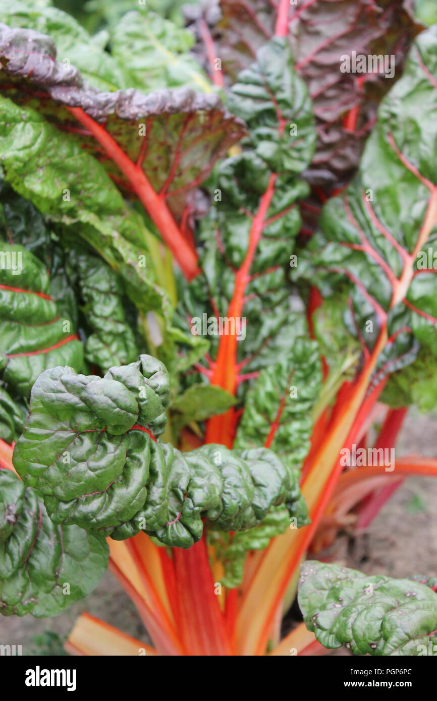 Rhubarb, Rheum rhabarbarum, growing at the Wagner Farm Community Garden in Glenview, Illinois, USA. - Stock Image