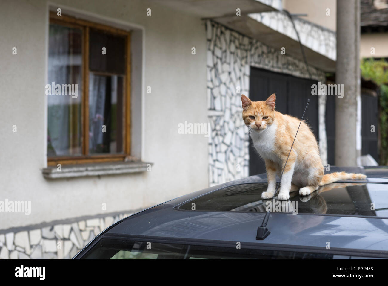 Cat sitting on the rooftop of a car - Stock Image