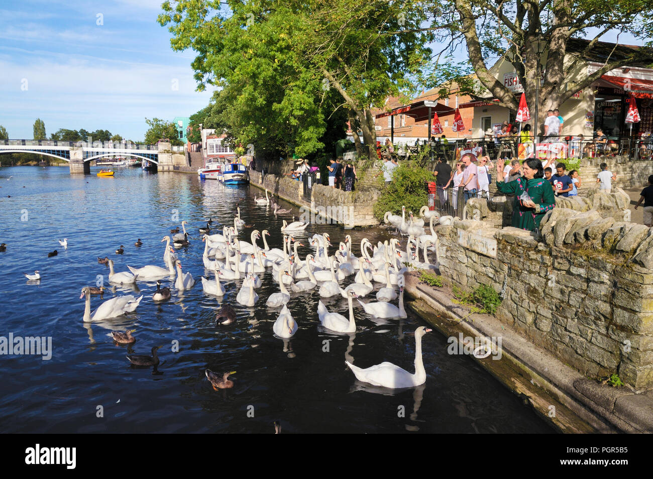 People feeding a gaggle of swans on the River Thames at Windsor, Berkshire, England, UK - Stock Image